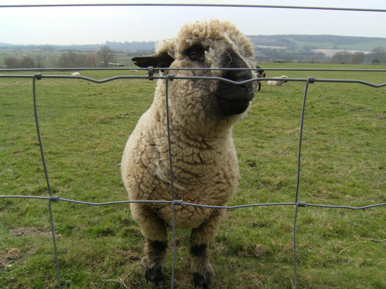 1103120001 Inquisitive Hampshire sheep, Burpham