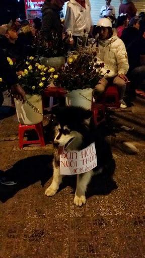 Một chú alaska đen trắng đang bán hoa