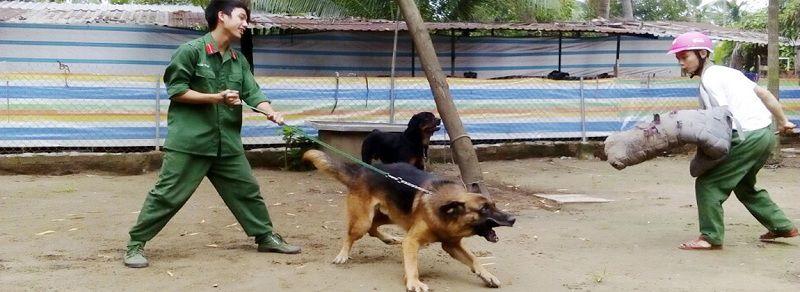 Mua chó Rottweiler? Bán chó Rottweiler Hà Nội & TPHCM giá rẻ, uy tín