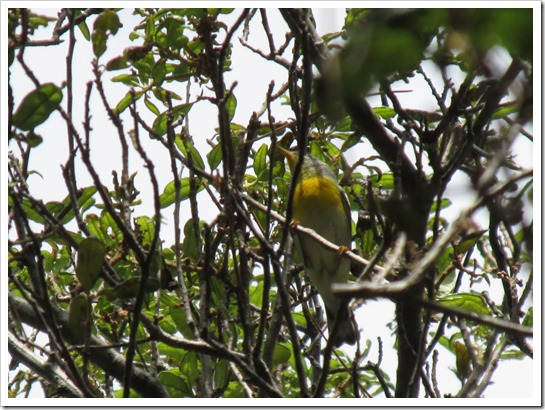 2017-05-05 Florida, Stuart - Northern Parula Bird (3)