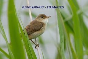 kleine karakiet - ezumakeeg Lauwersmeer (4).jpg