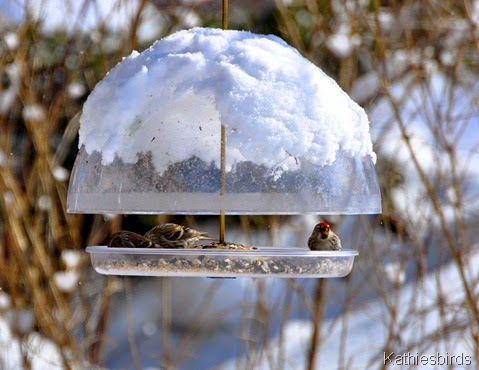 4. redpolls feb25-kab