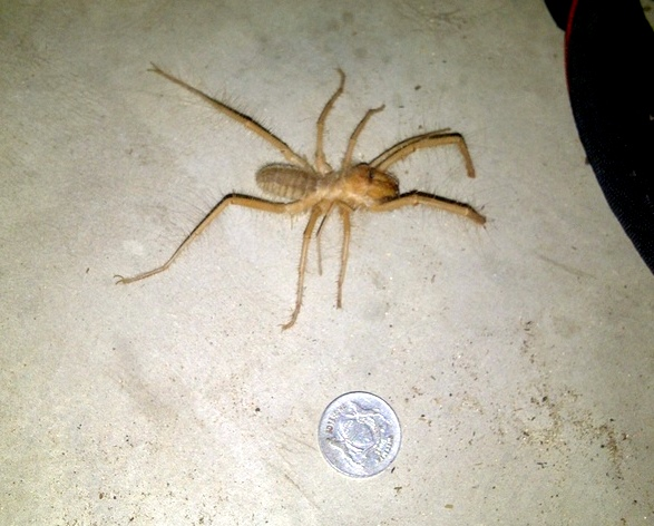 uge spider in our cabin at Shakawe.  (for reference coin is size of quarter)