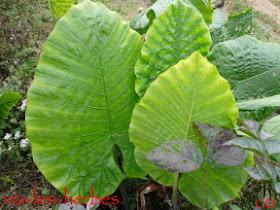 feuilles de Taro (Vietnam Nord).jpg