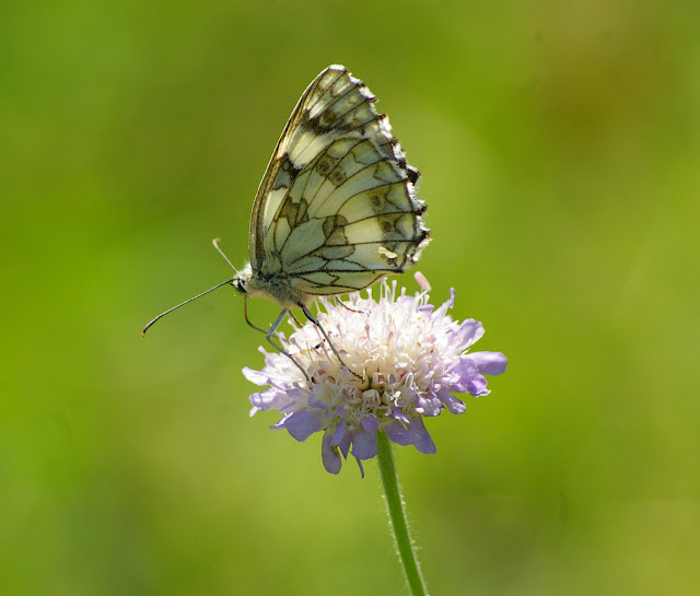 Melanargia galathea LINNAEUS, 1758, femelle, verso. Les Hautes-Lisières, 16 juillet 2009. Photo : J.-M. Gayman