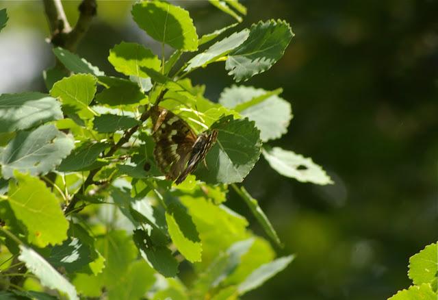 Apatura ilia DENIS & SCHIFFERMÜLLER, 1775, femelle. Les Hautes-Lisières (Rouvres, 28), 30 juin 2011. Photo : J.-M. Gayman