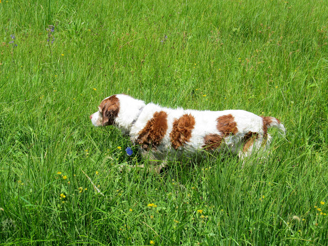 Torrey in the grass