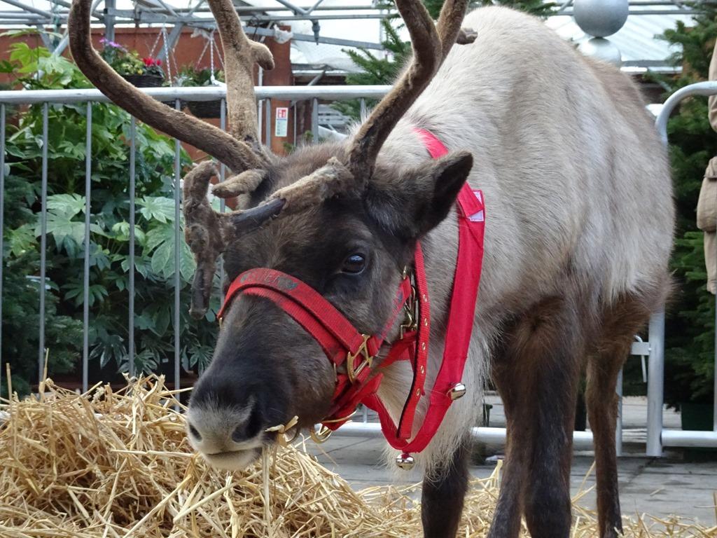 [Sven+the+reindeer%5B3%5D]