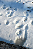 coyote tracks 4 in winter.jpg
