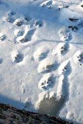 coyote tracks 4 in winter.jpg