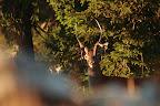 EAUX DE CHAGRIN   Quand le cerf perd les velours qui assuraient la protection, la croissance et la vascularisation des bois