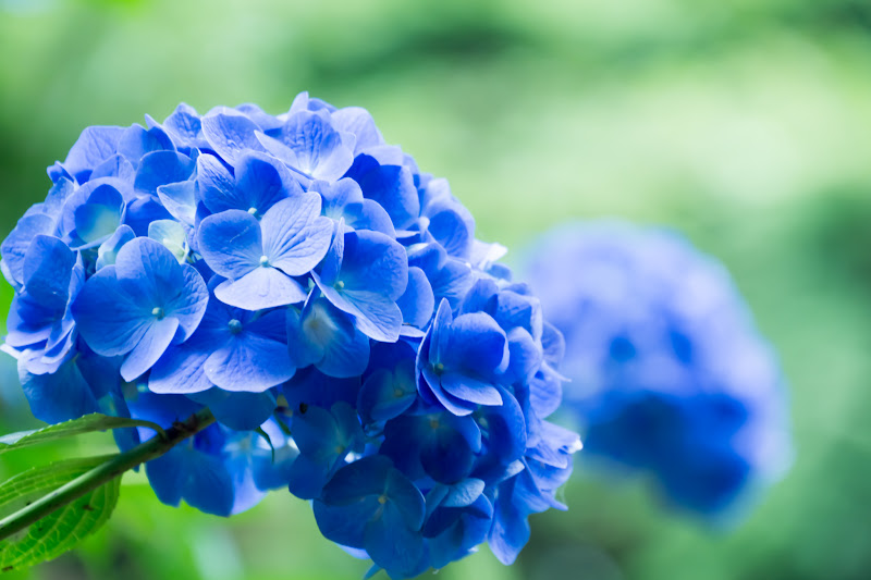 Hydrangea flowers at Takahatafudoson Kongoji Temple14