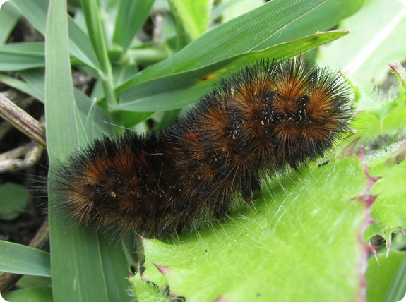 Salt Marsh Caterpillar - Cinnamon (2)