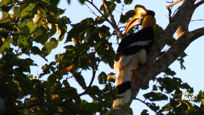 Great Hornbill at Nameri National Park, Assam, India