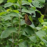 Caligo telamonius telamonius (C. Felder & R. Felder, 1862). Fundo Palmarito, 265 m (Yopal, Casanare, Colombie), 8 novembre 2015. Photo : J.-M. Gayman