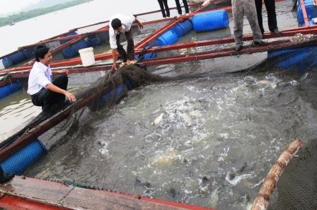Mô hình nuôi cá chẽm trong lồng - 55f95e40102b3