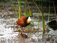 Jacana - Okavango Delta