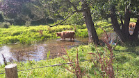 Highland Cattle on Colin Wing's Great Descents of Kent ride