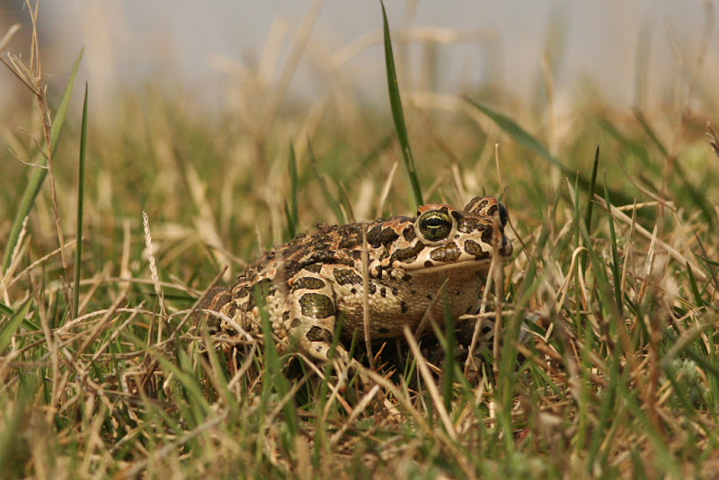 Broasca raioasa verde Fundata amfibieni wildlife