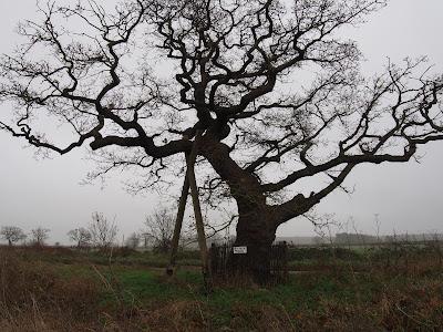 Kett's Oak