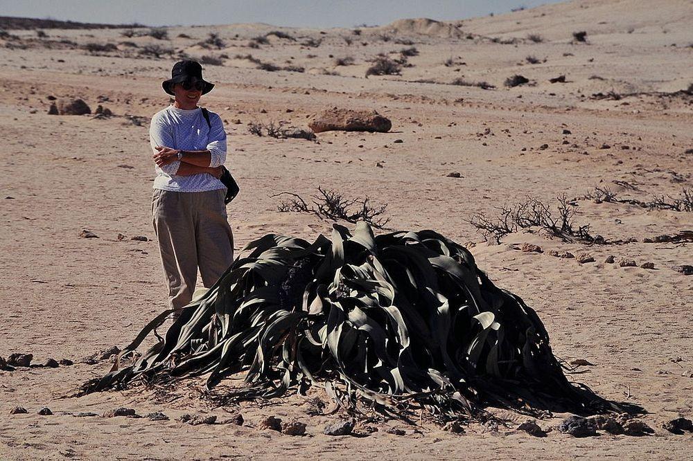 welwitschia-mirablilis-2