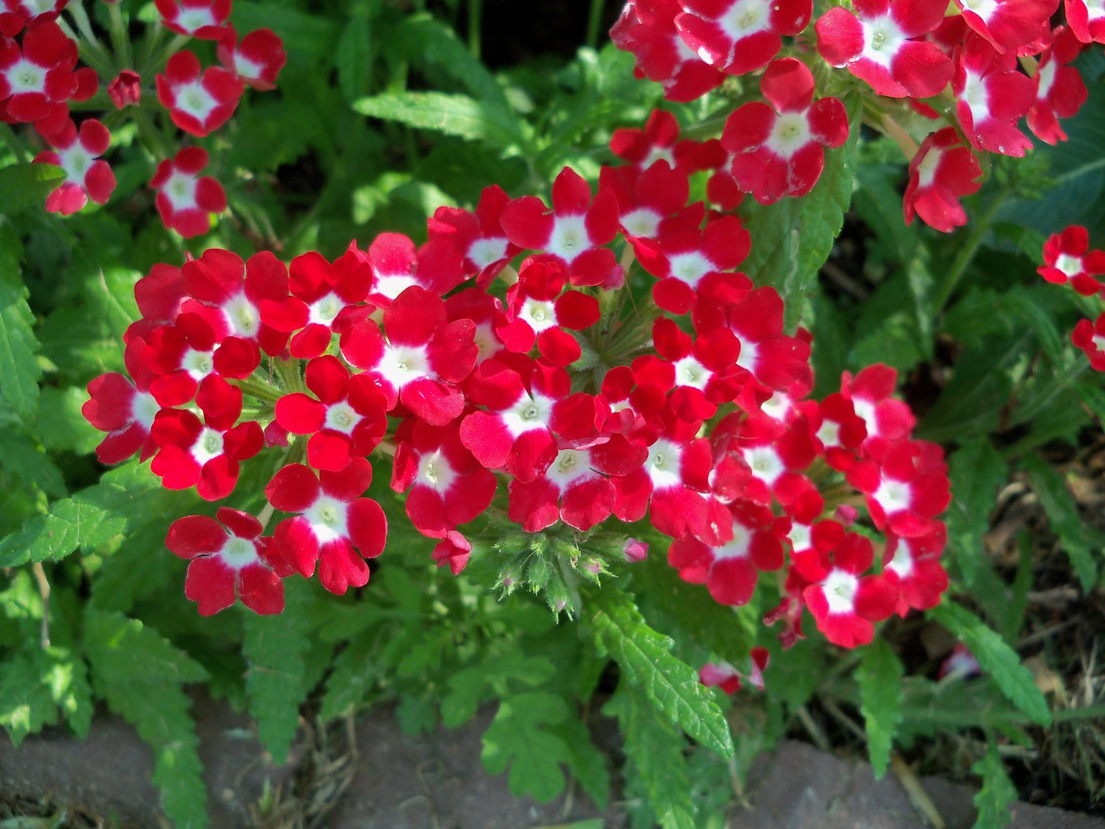 Gardening 2010, Part Two - 101_3398.JPG