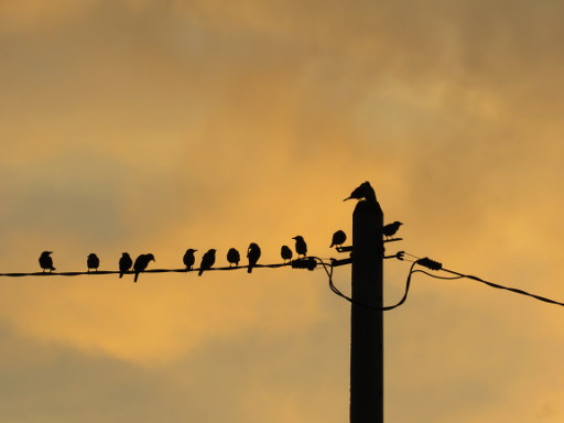 Silhouette Of Asian Glossy Starlings On Electric Wire