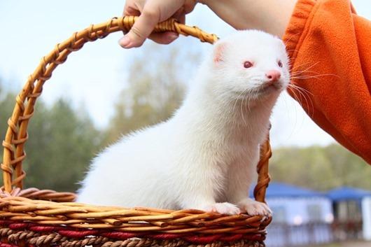 10-Хорек-альбинос