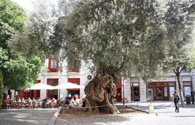 Olivera plaça de Cort.jpg