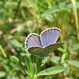 Plebeius idas naruena Courvoisier, 1913 (1900 m). Kekemeren, 1er juillet 2006. Photo : J. Michel