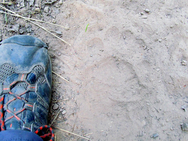 Bear tracks on the trail