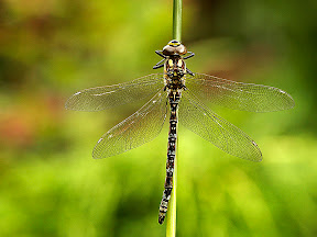 Common Hawker Dragonfly by John Powell EFIAP DPAGB BPE4