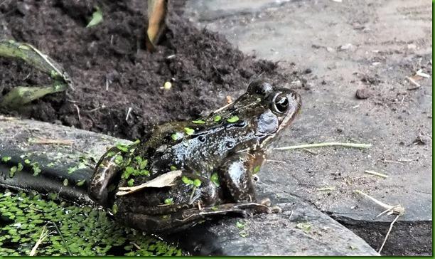 Frog July 2017
