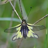 Ascalaphe : Libelloides coccajus (DENIS & SCHIFFERMÜLLER, 1775). Les Hautes-Courennes (550 m). Saint-Martin-de-Castillon (Vaucluse), 7 mai 2014. Photo : J.-M. Gayman