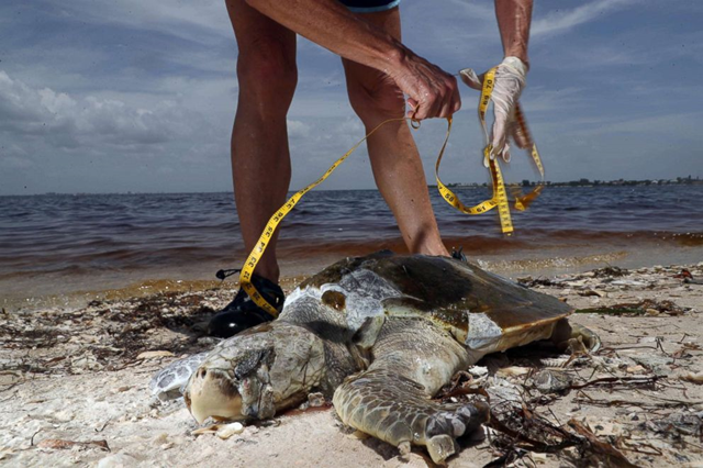 A sea turtle killed by a red tide outbreak in Southwest Florida, 2 August 2018, Sanibel Island, Florida. Photo: Andrew West / The News Press / USA TODAY Network