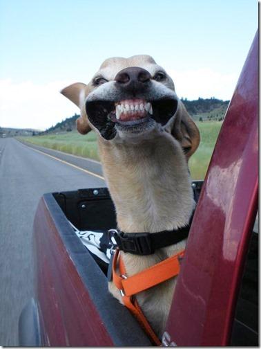 perros asomads a la ventanilla del coche (5)