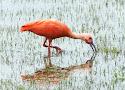 rode ibis.jpg