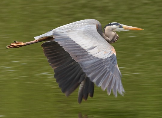 how to cook a blue heron