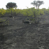 Tuli Block - wild african dogs on the hung