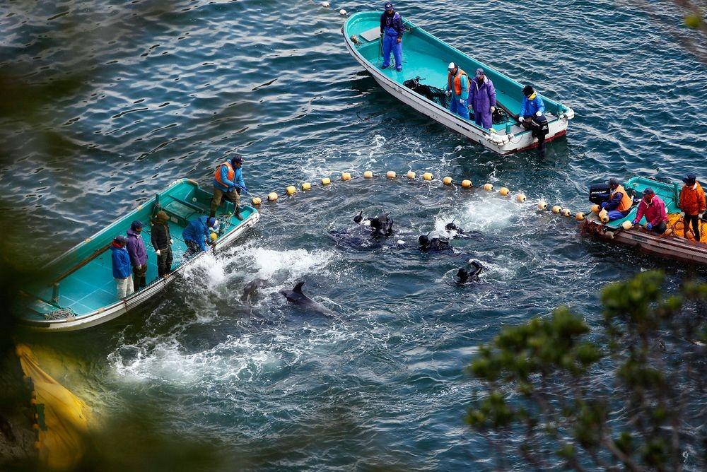taiji-dolphin-hunt-1