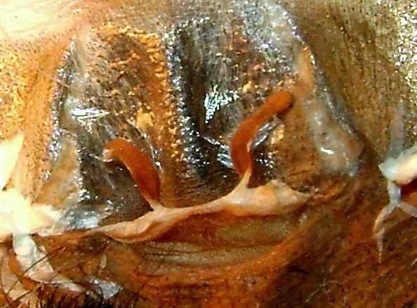 Avicularia sp guyana