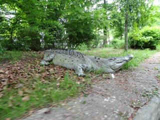 2016.05.24-013 crocodile sur le parcours de la rivière enchantée