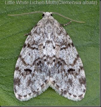 Little-White-Lichen-Moth-(Clemensia-albata)