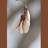 Boxelder-seeds_MG_2923-copy.jpg