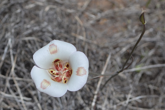 white Mariposa lily with red spots on the center of the inside of the petals
