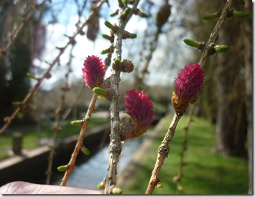 3 larch flowers