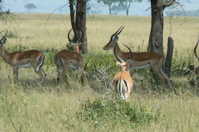 Serengeti National Park - gazelles