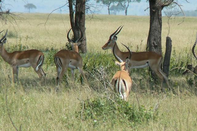 Serengeti National Park - gazelles