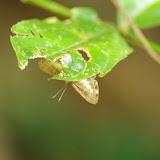 Riodinidae : Nymphidium manicorensis manicorensis CALLAGHAN, 1985. Saut Athanase, 4 novembre 2012. Photo : J.-M. Gayman