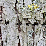 Holes-made-by-the-yellow-bellied-sapsucker-woodpecker_MG_2752-copy.jpg